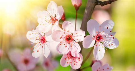 imagenes flores japonesas imagenes de flores japonesas