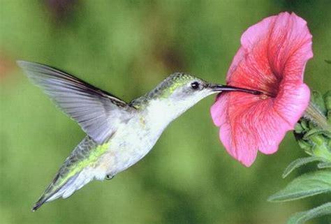 imagenes increibles de colibries 191 queres colibries o picaflores en tu patio entr 225 taringa