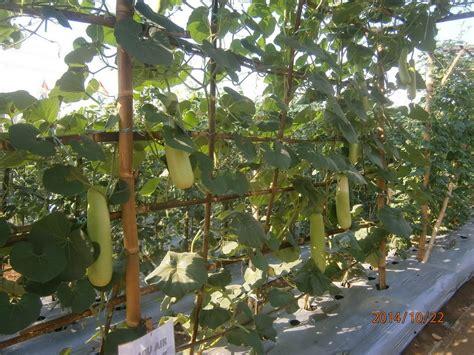 Benih Bawang Merah Varietas Batu Ijo belajar gratis untuk semua syaiful rahman jambore