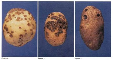 How to Grow Potatoes: Organic Growing, Diseases