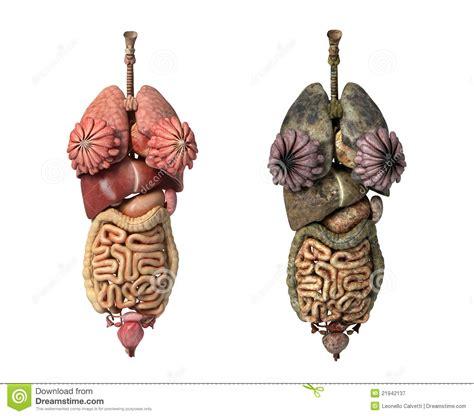 foto organi interni organi interni completi femminili healty e unhealty
