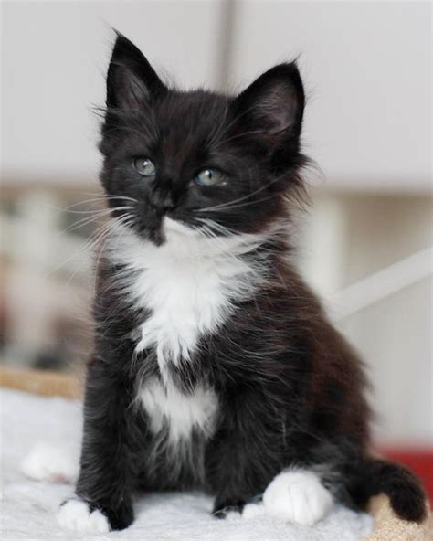 38 Very Beautiful Black Norwegian Forest Cat Photos And