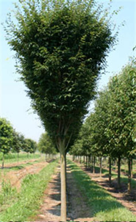 Green Vase Zelkova Problems by Green Vase Zelkova Hoette Farms Nursery