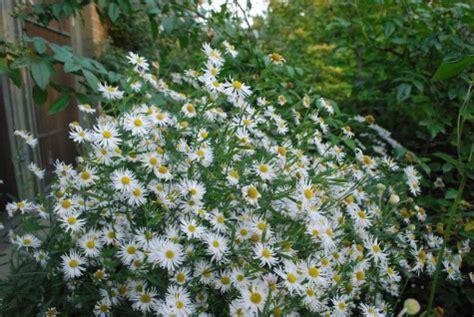 late blooming perennials late blooming perennials dirt simple