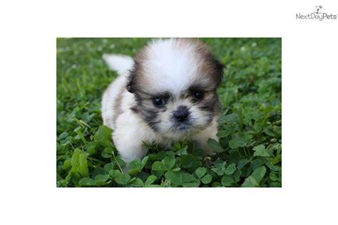 pom shih tzu hybrid gizmo the shiranian pom shih tzu hybrid puppy at 12 weeks breeds picture