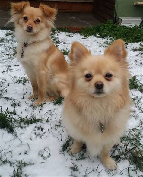 chihuahua mixed with pomeranian pomchi breed information and pictures