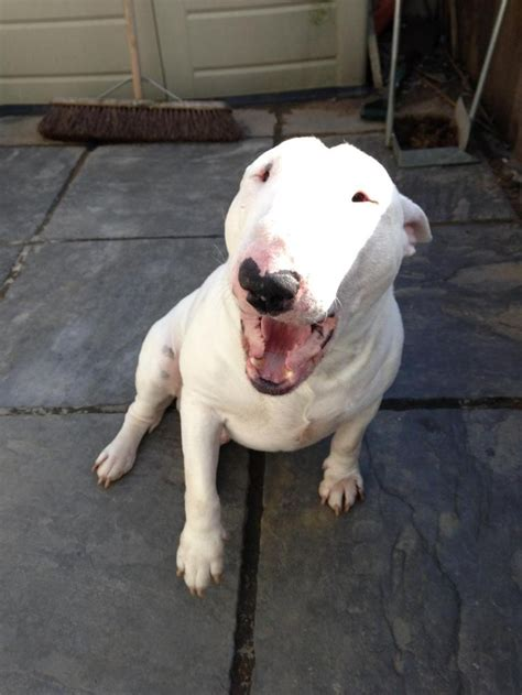bull terrier puppies rescue sykes at absolute bull terrier rescue bull terrier rescue pintere
