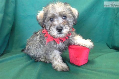 schnoodle puppies az grayson schnoodle puppy for sale near arizona 44176793 9421