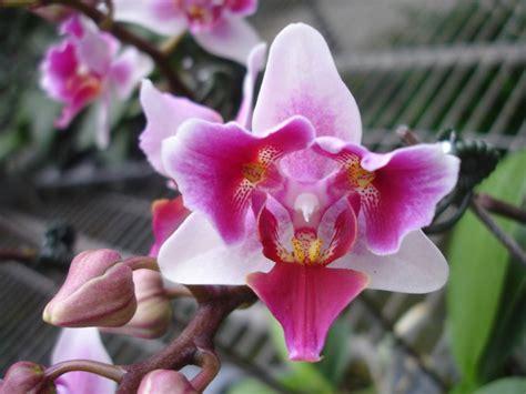 Trubus Info Kit Phalaenopsis p dancer three phalaenopsis orchis floriculturing inc
