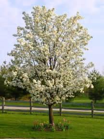 ornamental pear tree website of lihofief