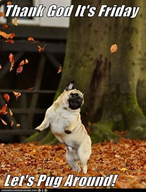 happy pug pictures happy pug pug pictures