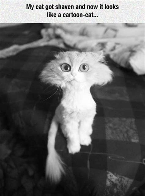 Shaved Cat Meme - cat memes funny and cute kitten memes