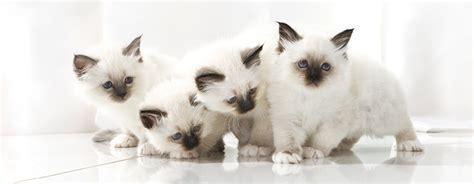alimentazione gatto adulto gattini 4 regole per una corretta nutrizione petpassion