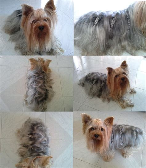 yorkie seizure symptoms yorkie haircuts breeds picture