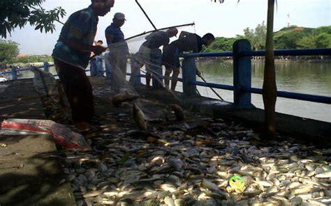Minyak Ikan Di Surabaya kematian ribuan ikan sungai surabaya akibat limbah kembali