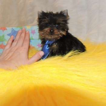 miniature yorkies for sale in tulsa teacup parti yorkie for sale adonis yorkies breeds picture