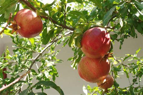 Granatapfel Garten Pflanzen granatapfelbaum pflege a z so 252 berwintern sie den