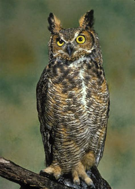 great horned owl all about owl