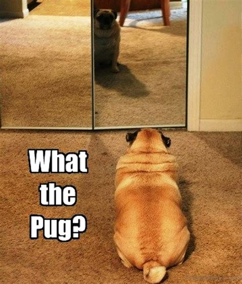 is a pug the right for me 88 superb pug memes pictures