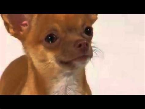 perrito chihuahua llorando muy tierno dog crying youtube