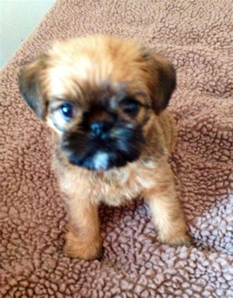 for puppies griffon puppies for sale doncaster south pets4homes