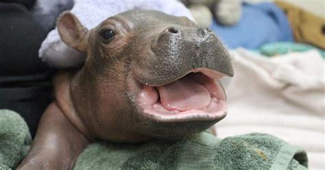 nursing baby fiona baby fiona  hippo cincinnati zoo