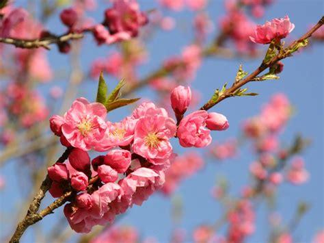 wallpaper bunga sakura cantik gambar 30 wallpaper bunga indah cantik buat laptop sakura
