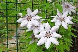 kletterpflanze schattig winterhart kletterpflanzen k 252 nstler in wuchs farbe