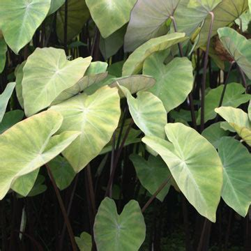 taro leaves plant care plants for ponds water gardens violet stemmed taro
