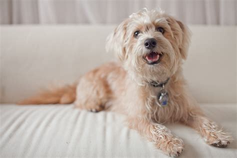 yorkie bulldog yorkie poo rescue dogs hairstylegalleries