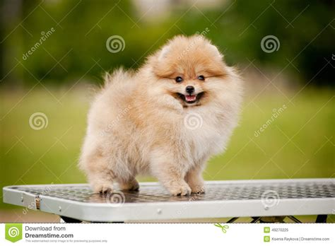 Pomeranian Shedding by Pomeranian Standing On The Grooming Table Stock Image