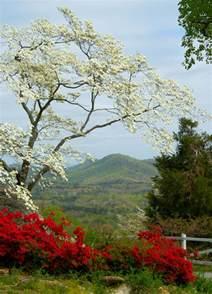 Maryland State Flower - dogwood state symbols usa