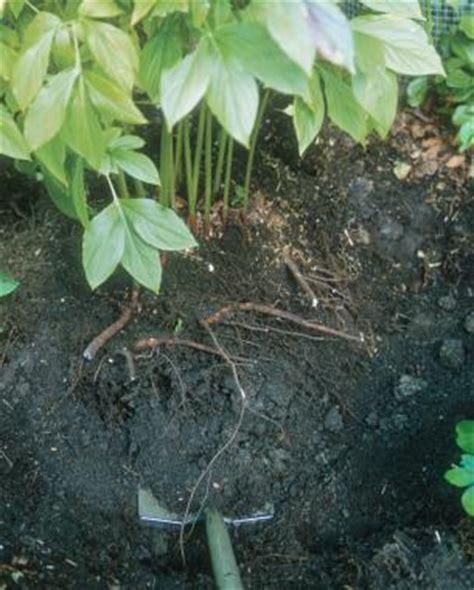 10 tips on dividing perennial plants fine gardening