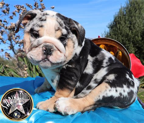 bulldogs colors bulldog dna colour chart dogs breed