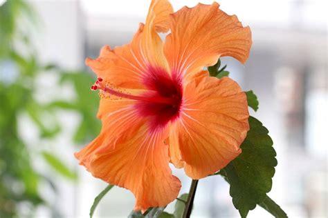 Hibiskus Als Zimmerpflanze by Hibiskus 252 Berwintern Der Beste Standort Und Winterschutz