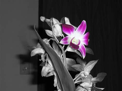 black and white orchid wallpaper habrumalas orchids wallpaper black and white images