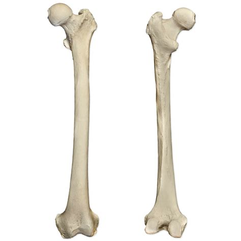 A Of Bones femur bone thigh bone structure attachments