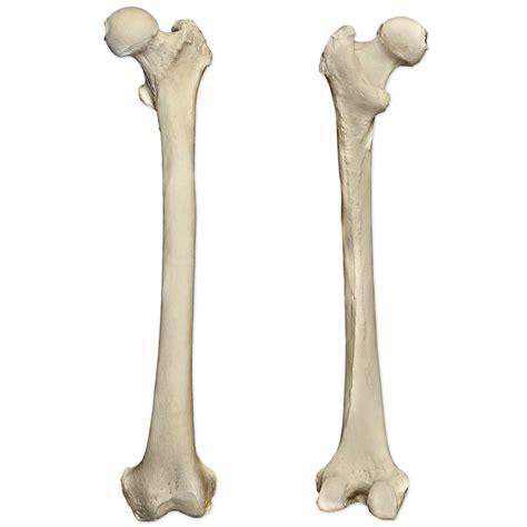 Of Bone by Femur Bone Thigh Bone Structure Attachments