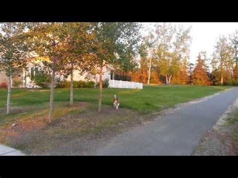 puppies for sale in fairbanks alaska siberian husky puppies dogs for sale in anchorage alaska ak 19breeders