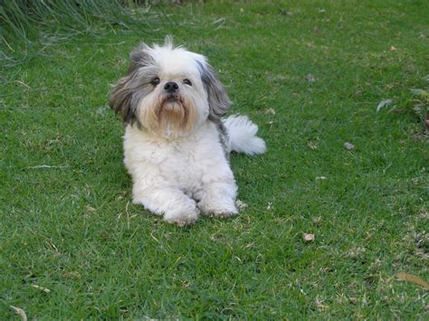 shih tzu and other dogs shih tzu on the grass photo and wallpaper beautiful shih tzu on the grass