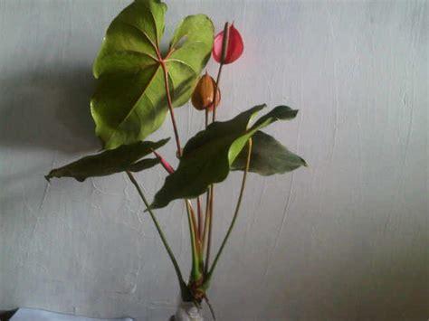 tanaman anthurium lokal merah