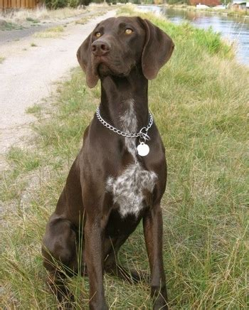 Brown with white german shorthaired pointer is sitting in a grass