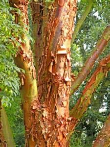 treeaware bark shedding trees plane trees
