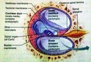 be able to drawcochlea cross section