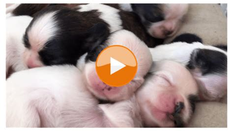 how many times does a shih tzu puppy eat shih tzu daily all