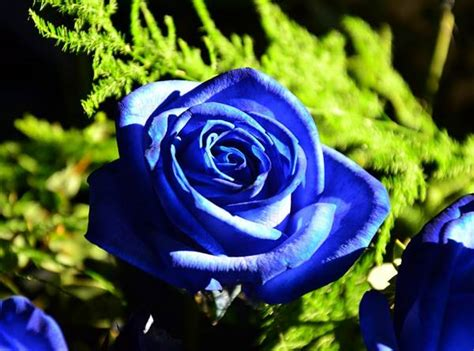 Bouquet Mawar Biru Bunga Mawar Biru 12 arti bunga mawar berdasarkan warna dan jumlah