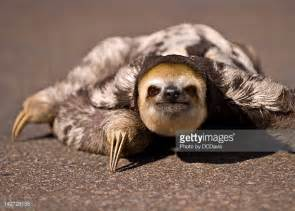sloth on a couch three toed sloth stock photos and pictures getty images
