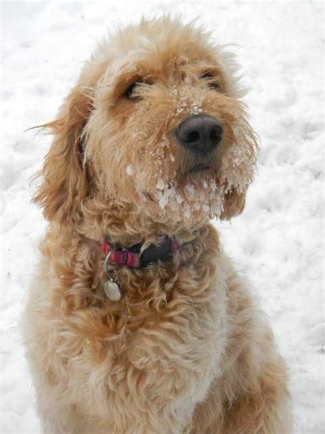 goldendoodle puppies in pa 25 best ideas about f1b goldendoodle on mini goldendoodle goldendoodle