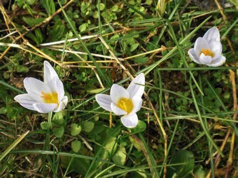 fiore selvatico zafferano selvatico fiore crocus biflorus