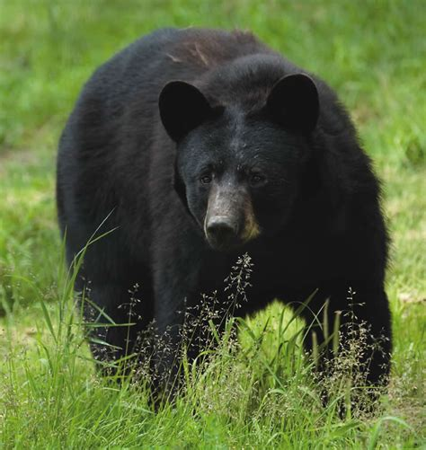 Black Bears njdep division of fish wildlife the facts
